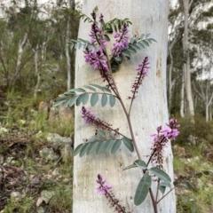 Indigofera australis subsp. australis (Australian Indigo) at Conder, ACT - 14 Oct 2021 by BraedyJ