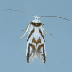 Oxythecta acceptella (Scat Moth) at Ainslie, ACT - 13 Oct 2021 by jbromilow50