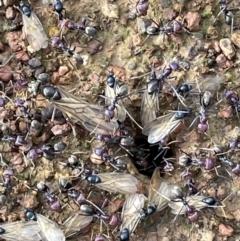Iridomyrmex purpureus (Meat Ant) at Mount Majura - 14 Oct 2021 by JaneR
