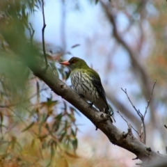 Oriolus sagittatus (Olive-backed Oriole) at Tralee, NSW - 14 Oct 2021 by MB