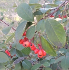 Cotoneaster glaucophyllus (Cotoneaster) at Theodore, ACT - 22 Sep 2021 by michaelb