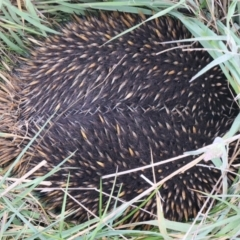 Tachyglossus aculeatus (Short-beaked Echidna) at Throsby, ACT - 13 Oct 2021 by jbromilow50
