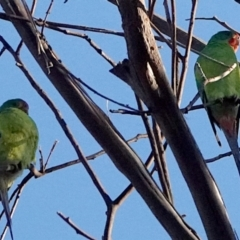 Lathamus discolor (Swift Parrot) at Belconnen, ACT - 23 May 2021 by PeteWoodall