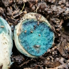 Unidentified Fungus (TBC) at Stromlo, ACT - 14 Oct 2021 by RobG1