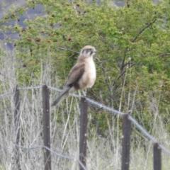 Falco berigora (Brown Falcon) at Stromlo, ACT - 15 Oct 2021 by HelenCross