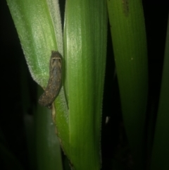 Noctuidae (family) (A cutworm or owlet moth) at Belconnen, ACT - 15 Oct 2021 by Dora