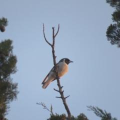 Artamus personatus (Masked Woodswallow) at Leeton, NSW - 30 Sep 2017 by Liam.m