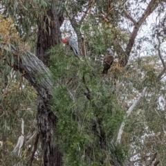 Callocephalon fimbriatum (Gang-gang Cockatoo) at Currawang, NSW - 13 Oct 2021 by camcols