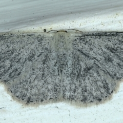 Scopula (genus) (A wave moth) at Ainslie, ACT - 13 Oct 2021 by jbromilow50