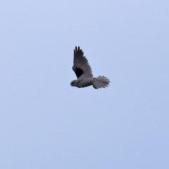 Elanus axillaris (Black-shouldered Kite) at Fyshwick, ACT - 15 Oct 2021 by RodDeb
