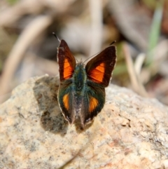 Paralucia aurifer (Bright Copper) at Mongarlowe, NSW - 15 Oct 2021 by LisaH