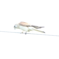 Falco cenchroides (Nankeen Kestrel) at Booth, ACT - 15 Oct 2021 by ChrisHolder