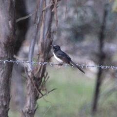 Rhipidura leucophrys (Willie Wagtail) at Booth, ACT - 15 Oct 2021 by ChrisHolder