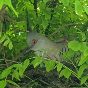 Ocyphaps lophotes (Crested Pigeon) at suppressed by ChrisAllen