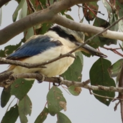 Todiramphus pyrrhopygius (Red-backed Kingfisher) at Pialligo, ACT - 13 Sep 2021 by Christine