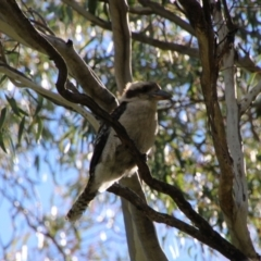Dacelo novaeguineae (Laughing Kookaburra) at Booth, ACT - 15 Oct 2021 by ChrisHolder