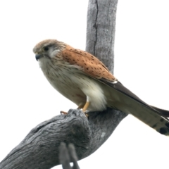 Falco cenchroides (Nankeen Kestrel) at Throsby, ACT - 13 Oct 2021 by jbromilow50