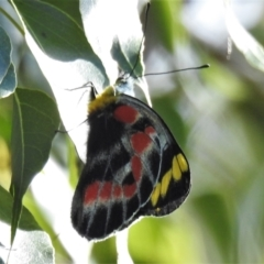 Delias harpalyce (Imperial Jezebel) at Paddys River, ACT - 15 Oct 2021 by JohnBundock