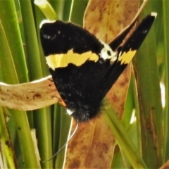 Eutrichopidia latinus (Yellow-banded Day-moth) at Paddys River, ACT - 15 Oct 2021 by JohnBundock