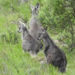 Macropus robustus (Wallaroo) at Kambah, ACT - 16 Oct 2021 by HelenCross