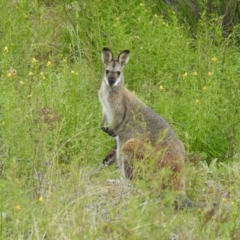 Macropus rufogriseus (Red-necked Wallaby) at Kambah, ACT - 16 Oct 2021 by HelenCross