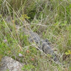 Tiliqua scincoides scincoides (Eastern Blue-tongue) at Stromlo, ACT - 16 Oct 2021 by HelenCross