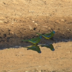 Neophema pulchella (Turquoise Parrot) at Binya, NSW - 1 Oct 2017 by Liam.m