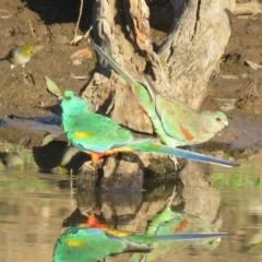 Psephotus varius (Mulga Parrot) at Binya, NSW - 1 Oct 2017 by Liam.m