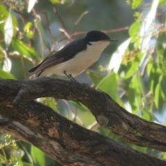 Myiagra inquieta (Restless Flycatcher) at Binya, NSW - 3 Oct 2017 by Liam.m