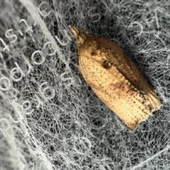 Meritastis (genus) (A Bell moth (Tortricinae)) at Murrumbateman, NSW - 15 Oct 2021 by SimoneC