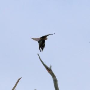 Milvus migrans (Black Kite) at Splitters Creek, NSW by KylieWaldon