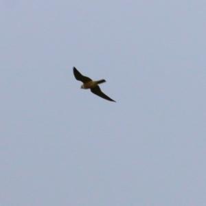 Falco longipennis (Australian Hobby) at Splitters Creek, NSW by KylieWaldon