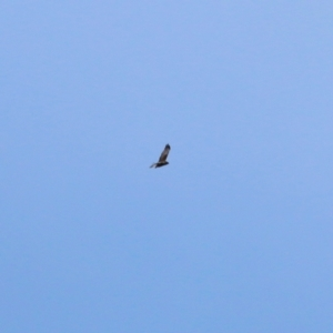 Circus approximans (Swamp Harrier) at Splitters Creek, NSW by KylieWaldon