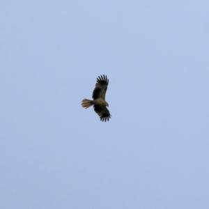 Haliastur sphenurus (Whistling Kite) at Splitters Creek, NSW by KylieWaldon