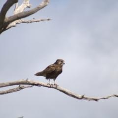 Falco berigora (Brown Falcon) at Cook, ACT - 16 Oct 2021 by Amy
