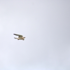 Falco cenchroides (Nankeen Kestrel) at Cook, ACT - 16 Oct 2021 by Amy