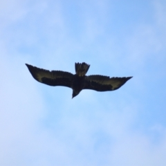 Aquila audax (Wedge-tailed Eagle) at Molonglo Valley, ACT - 16 Oct 2021 by Amy