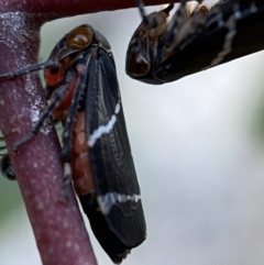 Eurymeloides bicincta (Gumtree hopper) at Jerrabomberra, NSW - 16 Oct 2021 by Steve_Bok