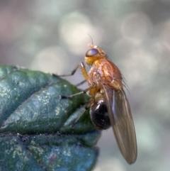 Lauxaniidae sp. (family) (Unidentified lauxaniid fly) at Jerrabomberra, NSW - 16 Oct 2021 by Steve_Bok