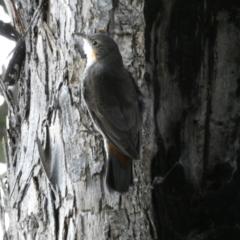 Cormobates leucophaea (White-throated Treecreeper) at Jerrabomberra, NSW - 16 Oct 2021 by Steve_Bok