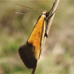 Philobota undescribed species near arabella (A concealer moth) at Tennent, ACT - 16 Oct 2021 by JohnBundock
