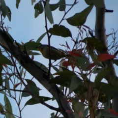 Pardalotus punctatus (Spotted Pardalote) at Jerrabomberra, NSW - 16 Oct 2021 by Steve_Bok