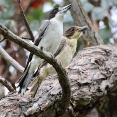 Cracticus torquatus (Grey Butcherbird) at Hughes, ACT - 16 Oct 2021 by LisaH