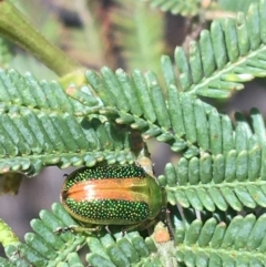 Unidentified Leaf beetle (Chrysomelidae) (TBC) at O'Connor, ACT - 16 Oct 2021 by Ned_Johnston