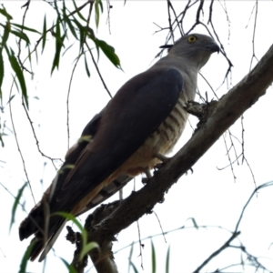 Aviceda subcristata (Pacific Baza) at Kelso, QLD by TerryS