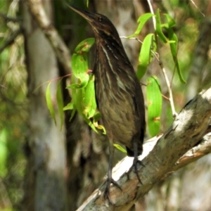 Ixobrychus flavicollis (Black Bittern) at Kelso, QLD by TerryS
