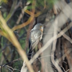 Cacomantis flabelliformis (Fan-tailed Cuckoo) at Coree, ACT - 16 Oct 2021 by wombey