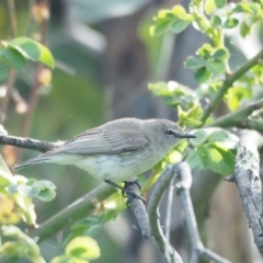 Gerygone fusca (Western Gerygone) at Holt, ACT - 16 Oct 2021 by wombey