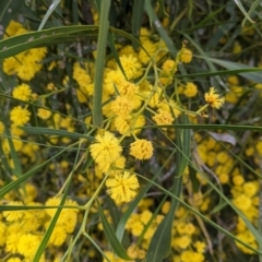 Unidentified Wattle (TBC) at Albury, NSW - 15 Oct 2021 by Darcy