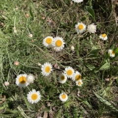 Leucochrysum albicans subsp. tricolor (Hoary Sunray) at Bruce, ACT - 17 Oct 2021 by Jenny54